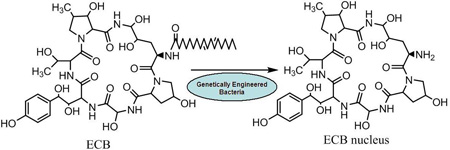 semisynthesis of an antifungal lipopeptides echinocandin The use of uptodate content is governed by et al morphological effects of lipopeptides against aspergillus the antifungal echinocandin caspofungin acetate.