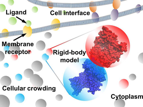 coarse-grained model simulations of biomolecular interactions in cellular environments