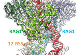 Molecular Mechanism of V(D)J Recombination from Synaptic RAG1-RAG2 Complex Structures