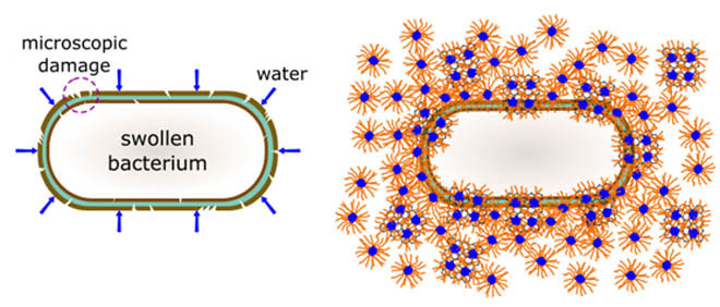 Synergism of Water Shock and Biocompatible Block Copolymer Potentiates Antibacterial Activity of Graphene Oxide. Global Medical Discovery